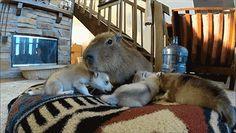 Capybara and Her Puppies