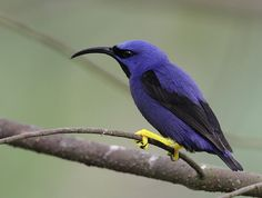 Purple Honeycreeper - the contrast between the feathers and legs is astonishing to me!