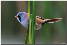 Bearded Reedling (Panurus biarmicus) It is frequently known as the Bearded Tit