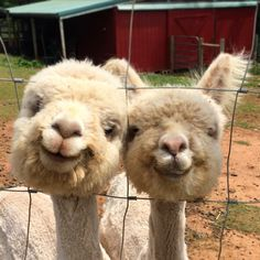 Just two alpacas smiling for a photo. http://ift.tt/2rRVLwU