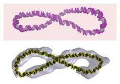 Beyond the Helix: 'Supercoiled' DNA Twists into Crazy Shapes ~ supercoiled dna