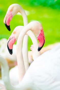 Flamingoes (by M J I on 500px)