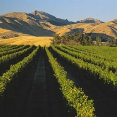 New Zealand, however, it looks so much like Los Andes New Zealand Food, Out Of Africa, South Island, Pinot Noir, Wine Country, Pretty Pictures, Adventure Travel, South Africa, Vineyard