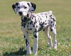 Resultado de imagen para 犬 dalmata