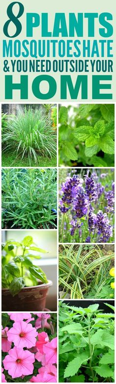 These 8 Amazing Mosquito Repelling Plants are THE BEST! I'm so happy I found these AMAZING plant ideas! Now I have a great way to keep myself from getting bitten from mosquitoes! Definitely pinning!