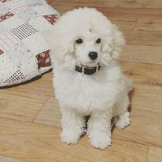 Beautiful poodle!