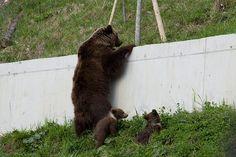 bears in Berne