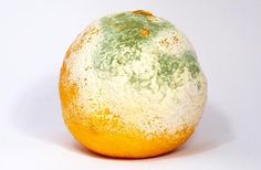 If you do receive a fruit pack from us, and there is one or more that is moldy, stay calm!  The mold is not contagious and it's only on the surface of the other fruit in the pack. Do not discard all of the fruit. Remove the undamaged fruit and wash in a mild soapy water solution. After drying rinse in a mild vinegar/water (1 oz. vinegar to 1/2 gal. water) solution to kill any mold spores that may still be present. You can then peel and eat or refrigerate for later!