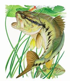Google Image Result for http://www.natureartists.com/art/resized/511_Largemouth_Bass_01300405-06_VAu657-145_2004_cc72ppi.jpg