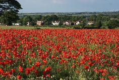 Poppy Field 2