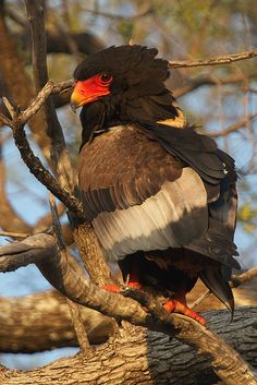 Bateleur Eagle - photo by Thomas Retterath (Wild Dogger), via Flickr;  also called Short-tailed eagle;  Kwando, Botswana
