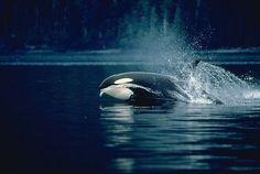 www.pegasebuzz.com   Orca, orque, black fish, killer whale.