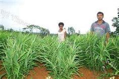 Ginger farming in Fiji Figi Islands, Fiji, Farming, Herbs, Plants, Herb, Plant, Planets, Medicinal Plants