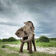 Follow @babyanimals_videos for the cutest baby animal photos and videos @babyanimals_videos  Elephant    Photography by © JF de Villiers  #babyanimalhd