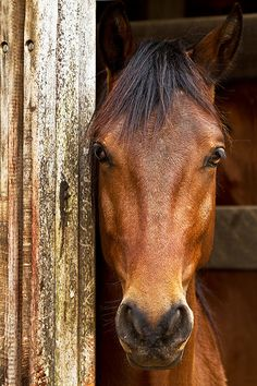 handsome horse head: Sweet eyes... by Raphael Macek - Horse Photography, via Flickr 4926970363