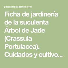 Ficha de jardinería de la suculenta Árbol de Jade (Crassula Portulacea). Cuidados y cultivos de la planta.
