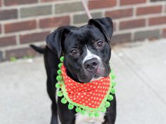 HUCK aka BRUCE - A1080261 - - Brooklyn  TO BE DESTROYED 02/18/17 A volunteer writes: Huck was the last dog I walked today–and I walked by his cage so many times while he waited patiently, I was amazed he didn't bark at me once! Just patiently waited, and happily wagged his tail all over the place when he realized it was finally his turn. Huck is an energetic young man who can sit for treats (and take them very gently), seems housetrained, and loves people. His c