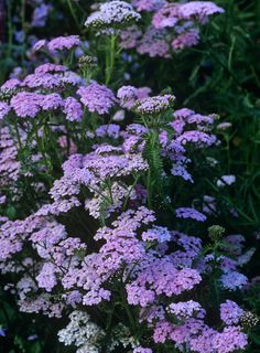 Details: Pink Garden Keywords: Pink Dartmoor Achillea