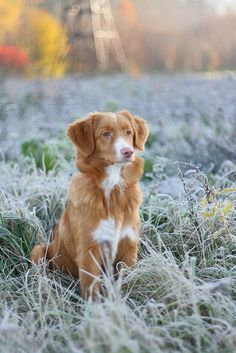 Nova Scotia Duck Tolling Retriever. Never heard of this breed!