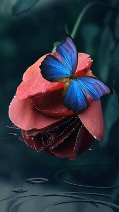 A beautiful silver butterfly on a beautiful red rose. Description from pinterest.com. I searched for this on bing.com/images