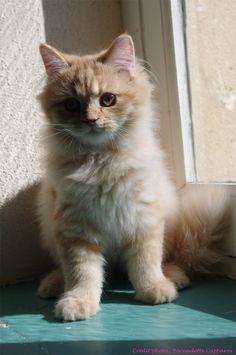 Irish de la Querencia, chaton British Longhair de 4 mois.