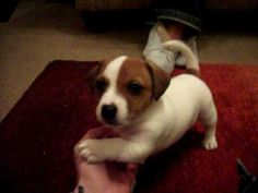 """Jack Russell Terrier puppy """"Aiden"""" - YouTube"""