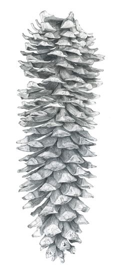 Sarah Melling: Pencils and Paper: Sugar Pine Cone - Finished drawing!