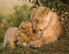 Lion love - Cats Wallpaper ID 920071 - Desktop Nexus Animals Cute Baby Animals, Animals And Pets, Funny Animals, Beautiful Lion, Animals Beautiful, Lion Pictures, Animal Pictures, Animal Kingdom, Big Cats