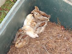 araucana chickens