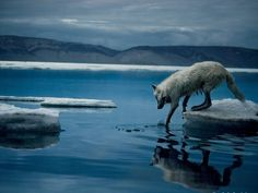 National Geographic Photography | Free Artic Wolf, Photo National Geographic Wallpaper - Download The ...