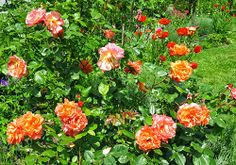 #-neuer Gartentraum- Rose Westerland
