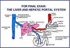 portal vein anatomy - Google Search