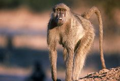 """Nature """"Murder in the Troop"""" - Female chacma baboon  See photos from Nature episodes, red carpet events and get the latest cast images and more on TVGuide.com"""