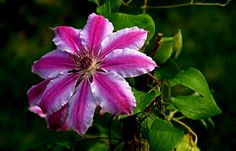 """Anfang Mai,  ...  ist auch Clematiszeit im Garten. Also für die Frühblühenden. Diese hier, """"Nelly Moser"""", fällt besonders durch ihre grossen und farblich sehr schön gestalteten Blüten auf. Habt einen schönen Tag."""