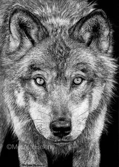 Grey Wolf   Melissa Helene Fine Arts 5x7 scratchboard www.melissahelene.com #endangeredspecies #savethewolf #wolf #wolves #wildlife