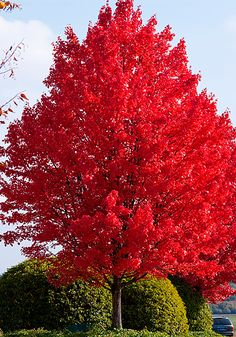 Red Maple Tree has red and orange autumn foliage. Red Maple Trees grow rapidly in a variety of soils. Red Maple Tree reaches a mature height of 60 to 90 feet.