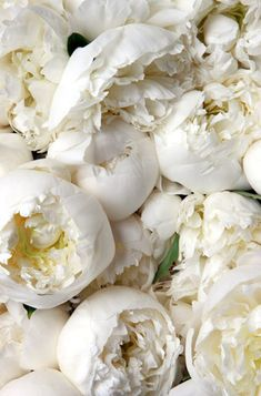 White peonies - my favorite flowers, my wedding bouquet was made of these My Flower, White Flowers, Beautiful Flowers, Colorful Roses, Cactus Flower, Exotic Flowers, Yellow Roses, Purple Flowers, Pink Roses