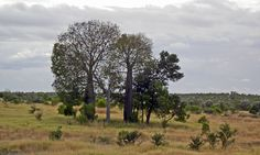 Boab trees, Central Queensland