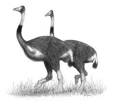 Elephant Bird (Aepyornis). Extinct Aprox. 1700.