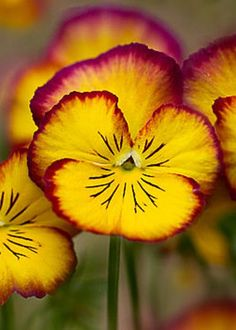 Gold and red violas or pansies on a greeting card for sale.