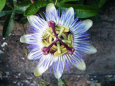 Passiflora caerulea - Wikipedia