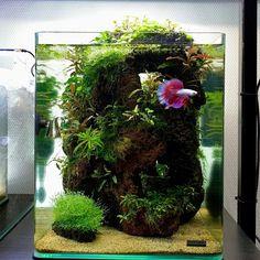 Planted Betta Tank, Betta Fish Tank, Planted Aquarium, Fish Tank Themes, Fish Tank Terrarium, Biotope Aquarium, Nano Cube, Fish Tank Design, Mini Aquarium