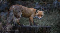 Fox by rolandalbanese