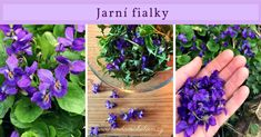 Jarní fialky Korn, Projects To Try, Health Fitness, Nature, Plants, Gardening, Aromatherapy, Syrup, Health