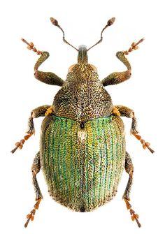 Ceutorhynchus aenicollis