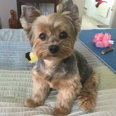 We've got this! Photo Credit: threeyorkiesmom http:& Cute Little Puppies, Cute Dogs And Puppies, Cute Little Animals, Baby Dogs, Little Dogs, Chien Yorkshire Terrier, Yorky Terrier, Yorkie Puppy, Beautiful Dogs