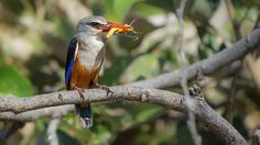 Grey-headed kingfisher by Stefan Cruysberghs on 500px