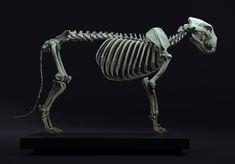 Lion anatomy by Maria Panfilova Lion Anatomy, Animal Anatomy, Creature 3d, Creature Drawings, Creature Design, Human Base, Human Anatomy For Artists, Eye Texture, Skeleton Anatomy