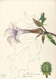 206642 Datura stramonium L. [as Datura tatula L.]  / Sharp, Helen, Water-color sketches of American plants, especially New England,  (1888-1910) [Helen Sharp]