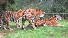 Snapvideo: Lolland - tigerne hygger sig i Knuthenborg Safaripark